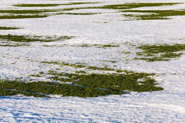 De eerste spruiten van wintertarwe die verschenen bij het ontdooien van sneeuw