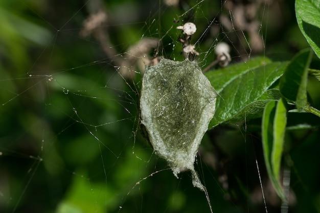 De eierzak van een gestreepte argiope-spin (argiope trifasciata) naast het web en de moederspin
