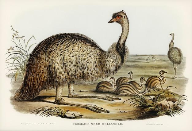 De emu (dromaius novae-hollandiae) geïllustreerd door elizabeth gould