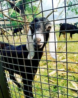 De enige geit die op onafhankelijk wacht achter de grille in india