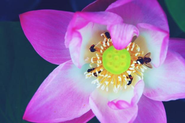 De enige lotus-achtergrond van de waterleliebloem