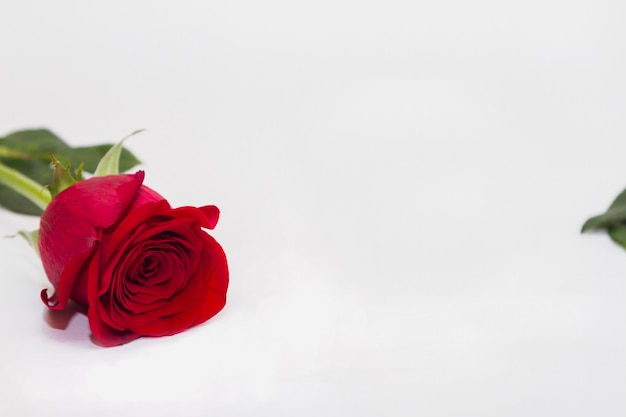 De enige rode bloem rosa legt op witte achtergrond