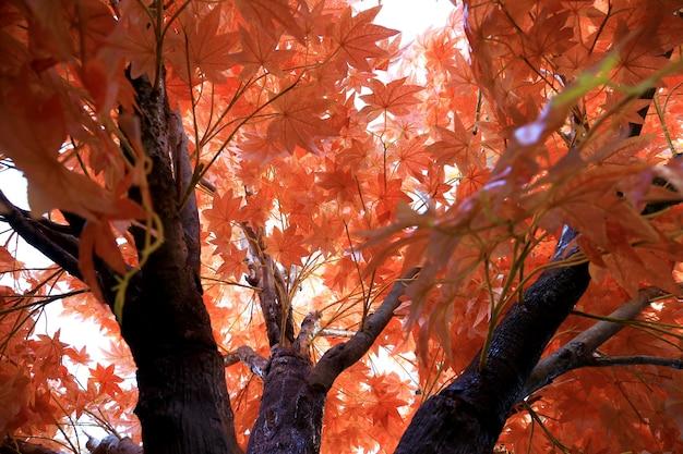 De esdoornbomen met gekleurd doorbladert rode achtergrond, schot onder de esdoornbomen.
