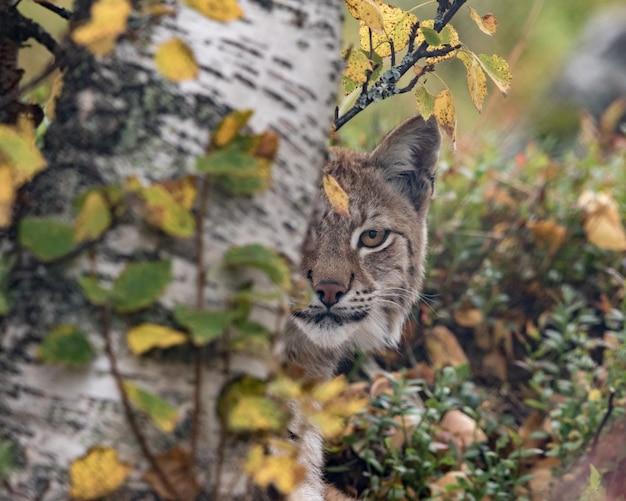 De euraziatische lynx - lynx lynx - volwassen dier in herfstkleurige vegetatie, uitkijkend van achter een berkenboom. slechts één oog zichtbaar.