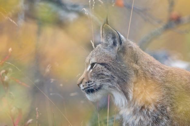 De euraziatische lynx - lynx lynx - volwassen dier in herfstkleurige vegetatie