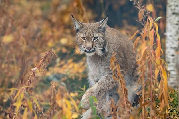 De euraziatische lynx - lynx lynx - volwassen dier wandelend in herfstkleurige vegetatie