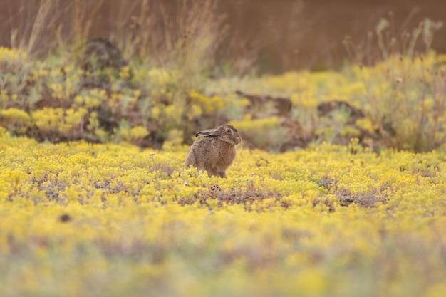 De europese haas zit in het gras. lepus europaeus.