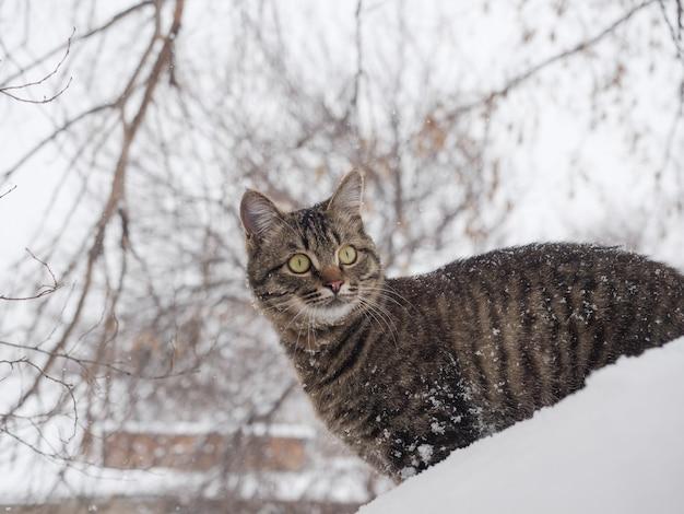 De europese korthaar staat in de winter met sneeuw op zijn vacht.