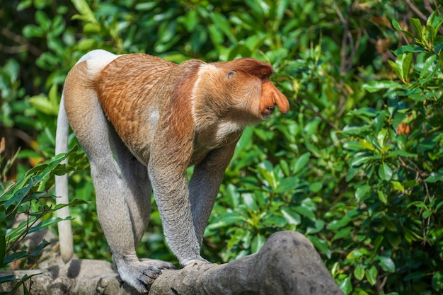 De familie van de wilde neusaap of nasalis larvatus, in het regenwoud van het eiland borneo, maleisië, sluit omhoog. geweldige aap met een grote neus.