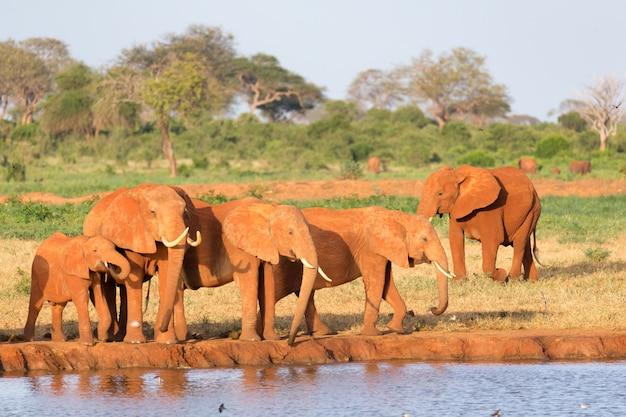 De familie van rode olifanten bij een waterpoel in het midden van de savanne