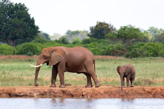 De familie van rode olifanten bij een waterpoel midden in de savanne