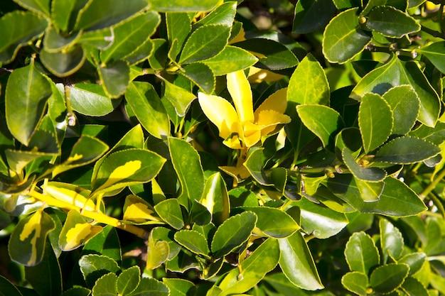 De fortune spindel euonymus fortunei is een soort van bloeiende plant in de familie celastraceae inheems in oost-azië, met inbegrip van china, korea, de filippijnen en japan.