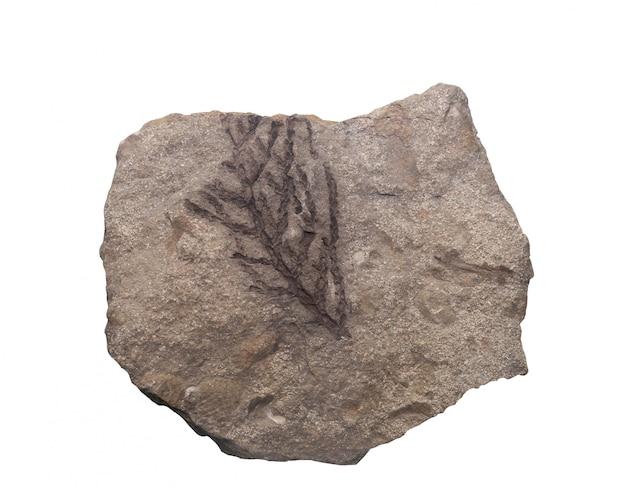 De fossiele ammoniet isoleert met het knippen van weg