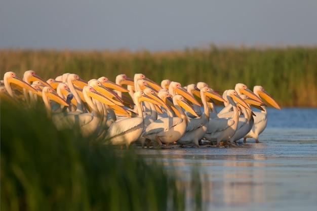 De foto's zijn gemaakt in het oekraïense deel van de donaudelta. witte pelikanen zijn de grootste deltavogels. leven en jagen in grote zwermen, reproduceren in kolonies.
