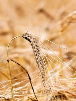De foto van een korenaar van de rijpe tarwe, maakte een close-up