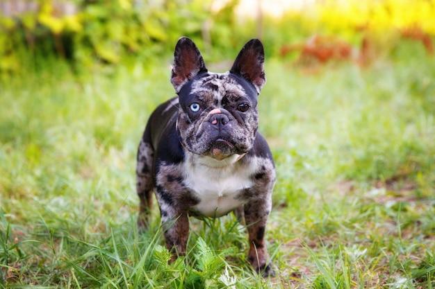De franse bulldog is een ongebruikelijke kleur voor een wandeling in het park