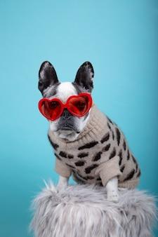 De franse hond van het buldogras met rode hartglazen en kleding die naar camera op blauw geïsoleerd beeld als achtergrond kijken. valentijnsdag concept.