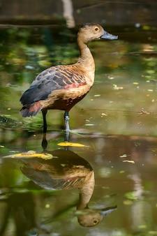 De fulvous fluitende eend of fulvous boomeend die zich in de vijver met bezinning bevinden, thailand