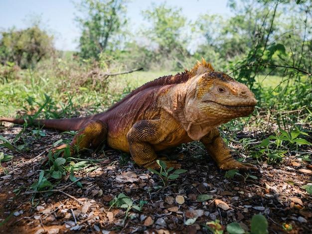 De galapagos-landleguaan op de galápagos-eilanden