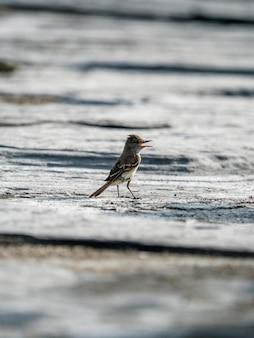 De galápagos-vliegenvanger op een kust van de galápagos-eilanden, ecuador