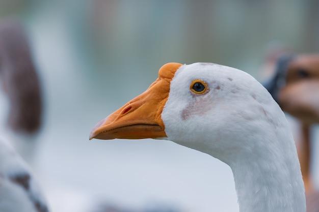 De ganzen staren gelukkig langs het kanaal