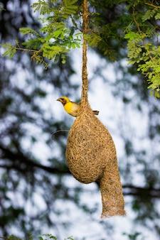 De geel-browed mus die stevig op zijn nest onder de boom in zijn natuurlijke habitat staat
