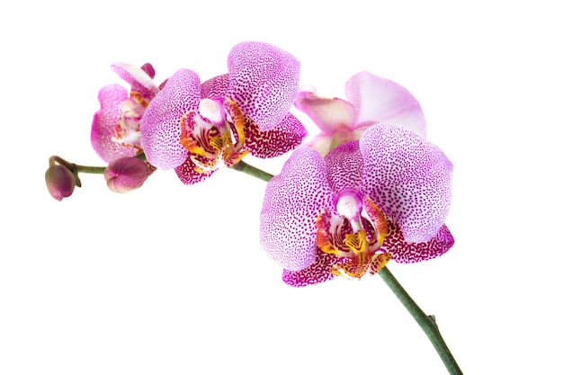 De gefotografeerde rode orchidee van de close-upbloem