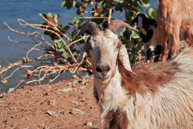 De geit in het kleine dorp aan de rivier de nijl, khartoem, soedan