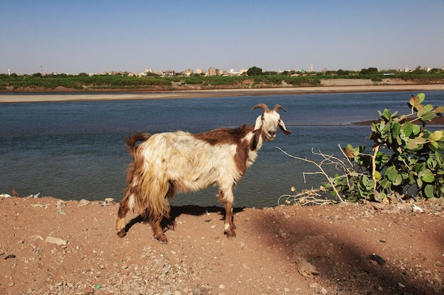 De geit in het kleine dorp aan de rivier de nijl, khartoum, soedan