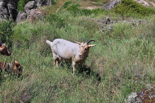 De geit op monsanto-rotsen in portugal
