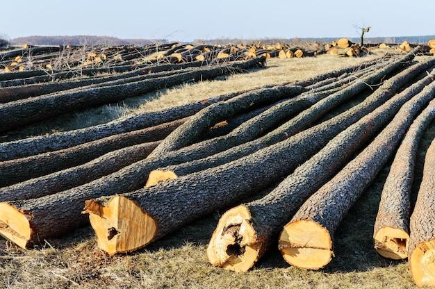 De gekapte bomen liggen op de grond. grote boomstammen - gepelde stammen van takken. bossen schoonmaken