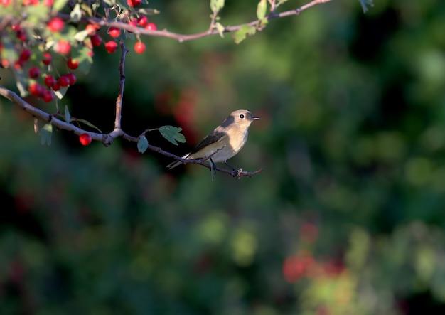 De gekraagde roodstaart (phoenicurus phoenicurus) zit op een meidoornstruik omgeven door felrode bessen