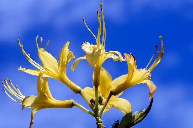 De gele azalea (rhododendron luteum) in bloei