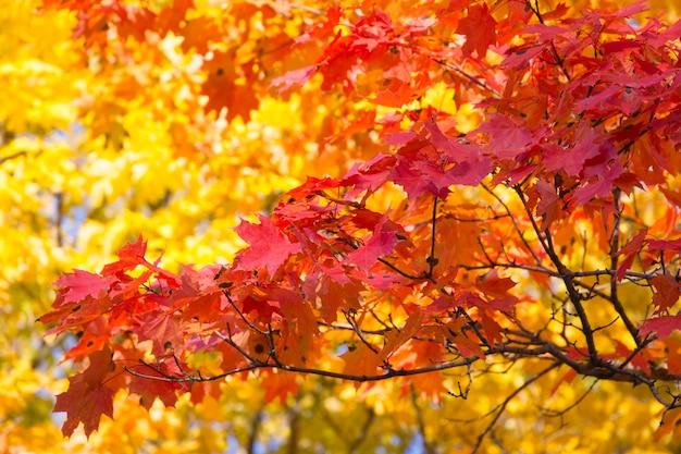 De gele bladeren van de esdoorns