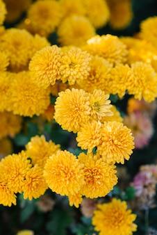 De gele bloei van chrysantenbloemen in de de herfsttuin