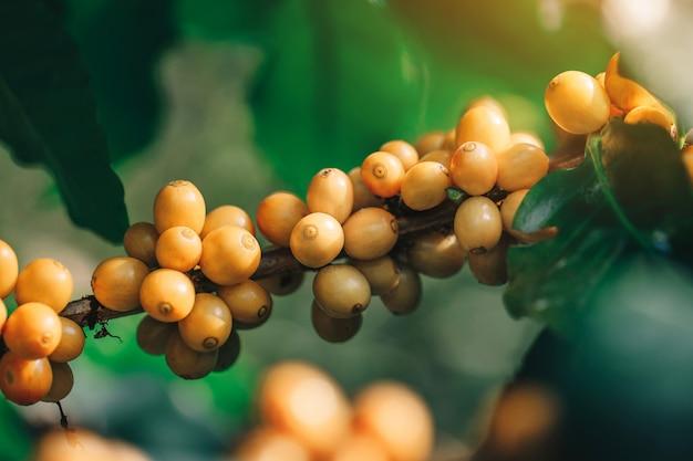 De gele bonen die van de catimorkoffie op boom in het noorden van thailand rijpen