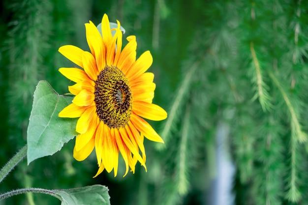 De gele close-up van de bloemzonnebloem op een groene onscherpe achtergrond