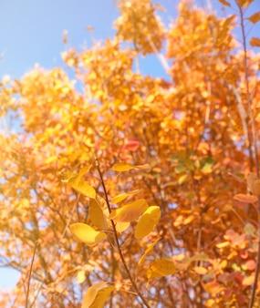 De gele en rode bladeren van cotinus-coggygria, sluiten omhoog. herfst stadspark met vergeelde bladeren