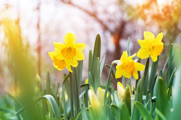 De gele gele narcis (narcissus) die in de tuin bloeit.