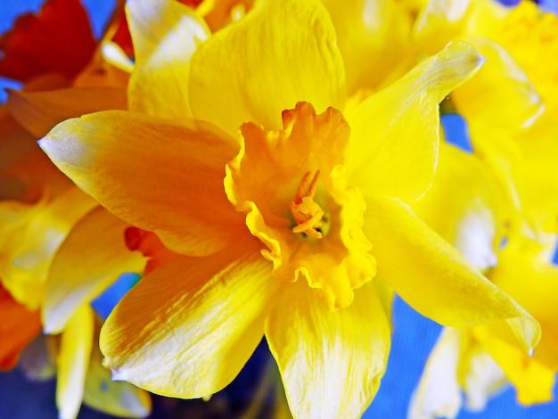De gele gele narcissen sluiten omhoog