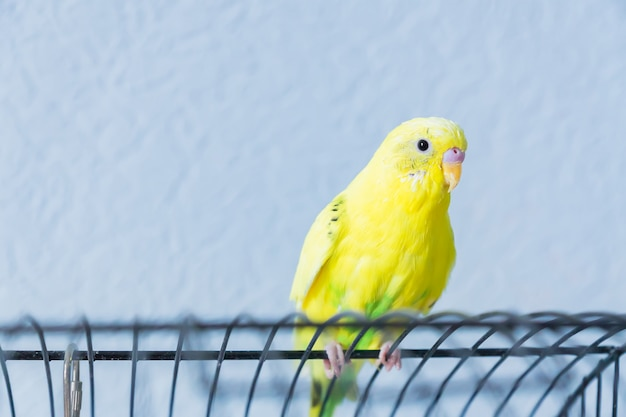 De gele golvende papegaai of budgie zit op de kooi op blauwe achtergrond