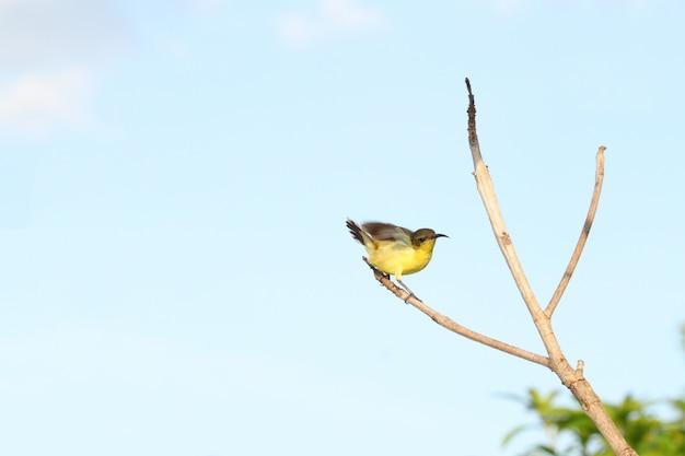 De gele oriole-vogelactie leuk op stokboom in tuin