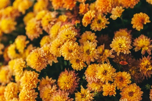 De gele struik van de de herfstbloem in potten dichte omhooggaand