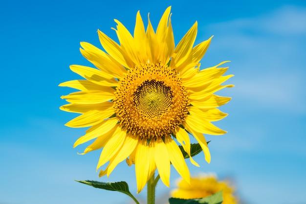De gele zonnebloemen bloeien met een mooie blauwe hemel in de ochtend.
