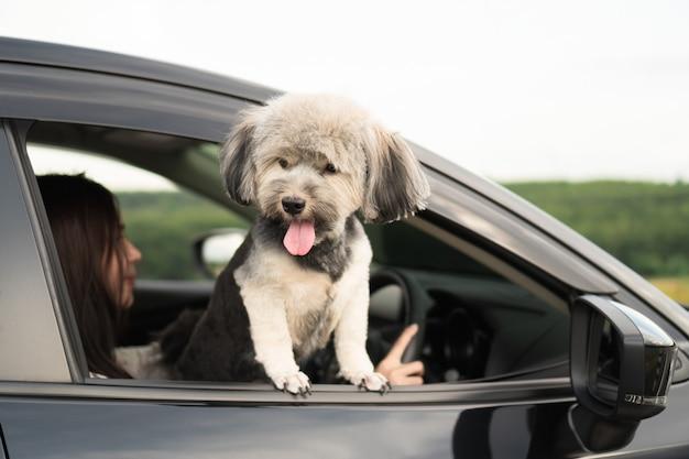 De gelukkige hond kijkt uit venster van zwarte auto, glimlachend met uit hangende tong en aandrijving
