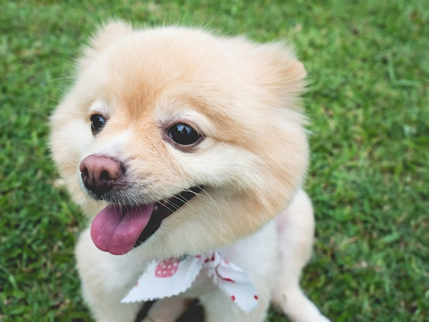 De gelukkige hond pomeranian met grote zwarte ogen en bruin haar ontspant openlucht.