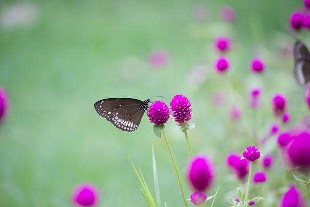 De gemeenschappelijke kraaivlinder op bloem