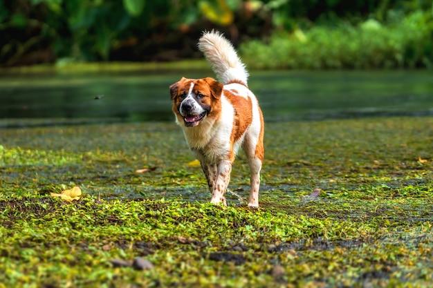 De gemengde rassenhond in bruin met witte kleur status