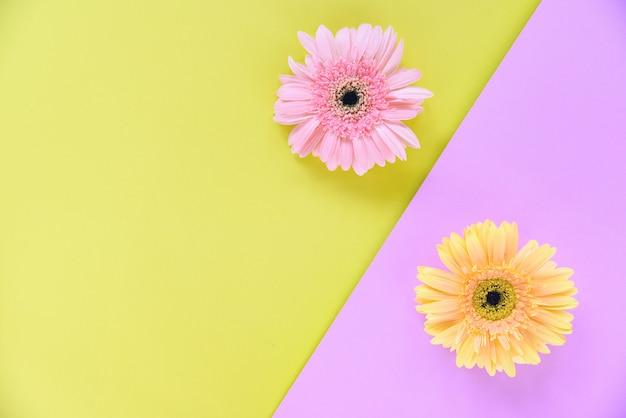 De gerbera-lente bloeit roze en gele achtergrond
