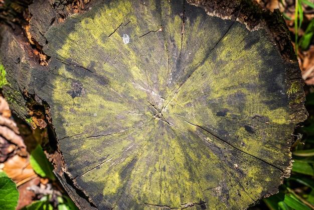 De gesneden stam van een oude boom